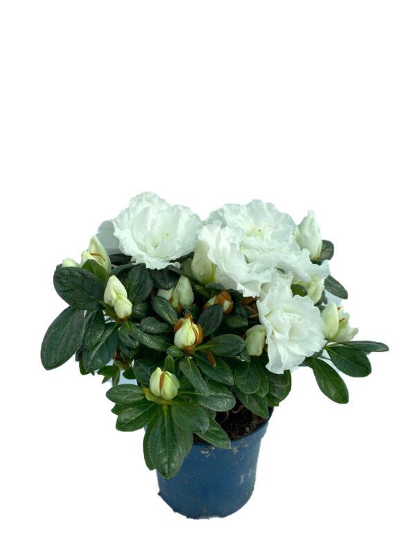 Açelya - Beyaz Çiçekli ( 8,5 cm saksıda )
