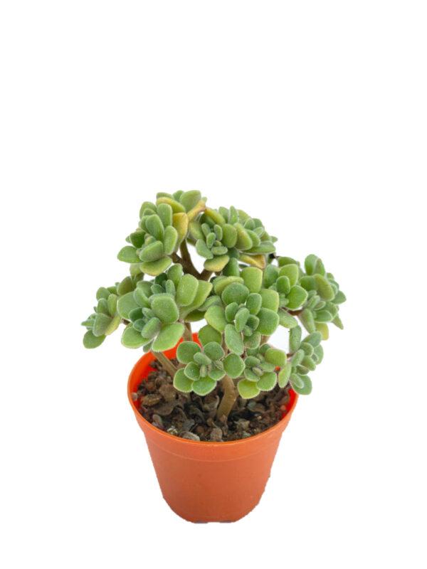 Aeonium Lindleyi - Sevda Ağacı