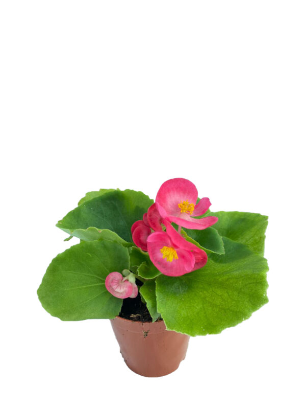 Begonya - Yeşil yapraklı pembe çiçekli