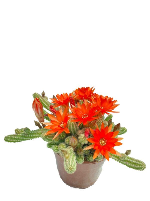 Chamaecereus silvestrii – Kırmızı çiçek açan kaktüs (1)
