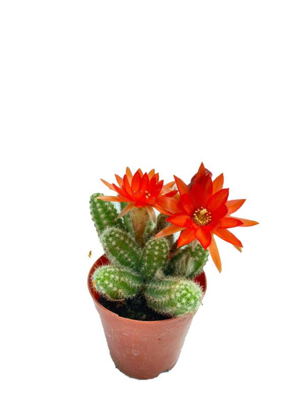 Chamaecereus silvestrii - Kırmızı çiçek açan kaktüs