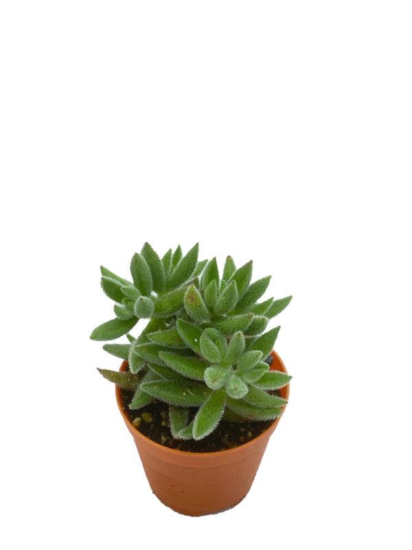 Crassula Mesembryanthemoides Hispida Minima