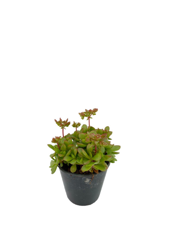 Crassula pubescens ssp radicans maxsine