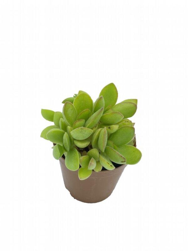 Crassula pubescens ssp. radicans