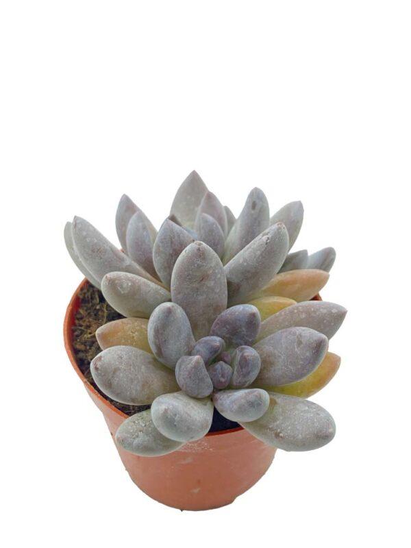 Echeveria Blue Mist