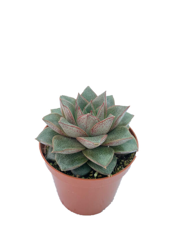 Echeveria Purpusorum (8,5 cm )