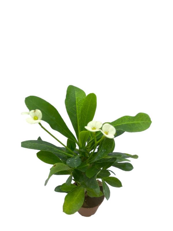 Euphorbia Milii – Dikenler Tacı – Beyaz Çiçekli