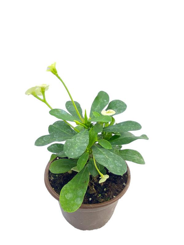 Euphorbia Milii – Dikenler Tacı – Beyaz Çiçekli 8,5 cm saksıda