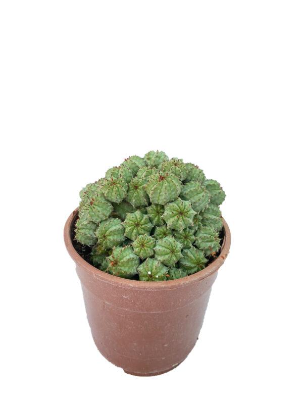 Euphorbia Pseudoglobosa (12 cm saksıda )