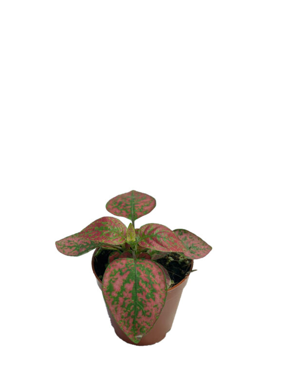 Fittonia -Koyu Pembe - Yeşil Renkli