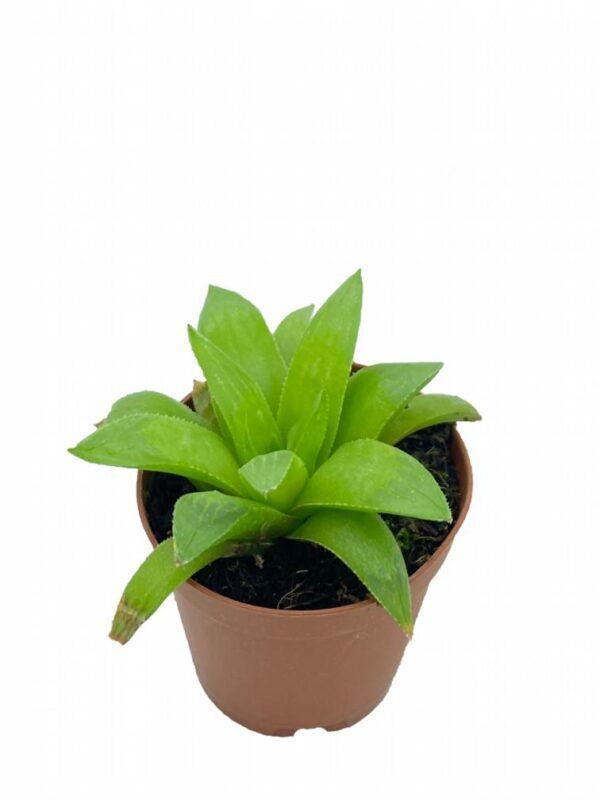 Haworthia nitidula