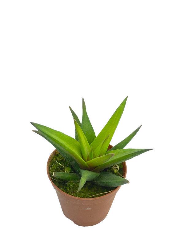Haworthia tortuosa