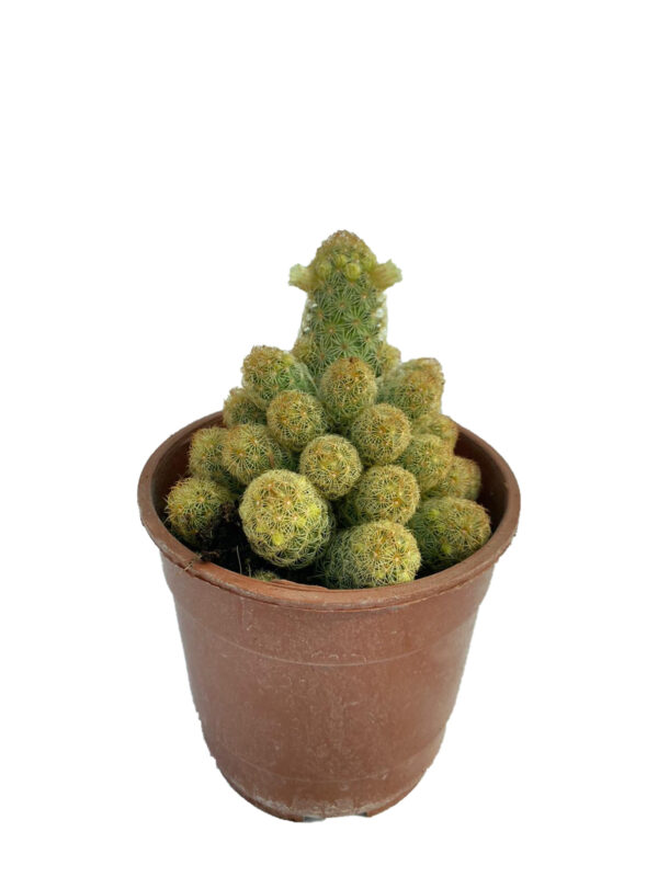 Mammillaria Elongata Ladyfinger Cactus