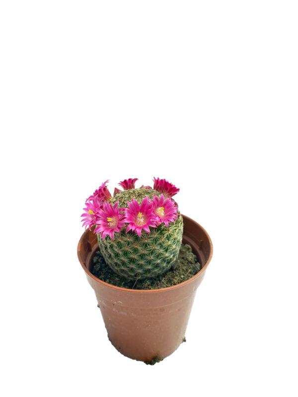 Mammillaria Lanata - pembe çiçek açan kaktüs