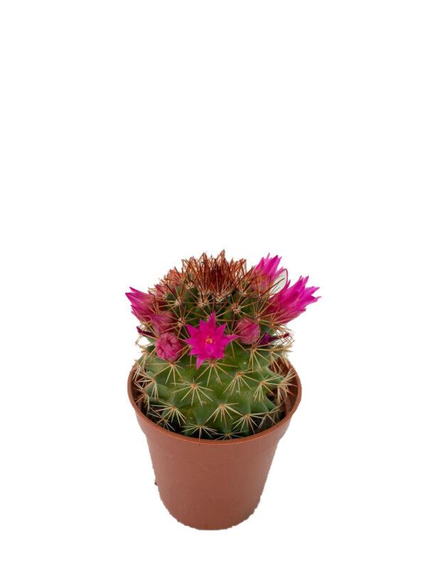 Mammillaria - Pembe çiçek açan kaktüs