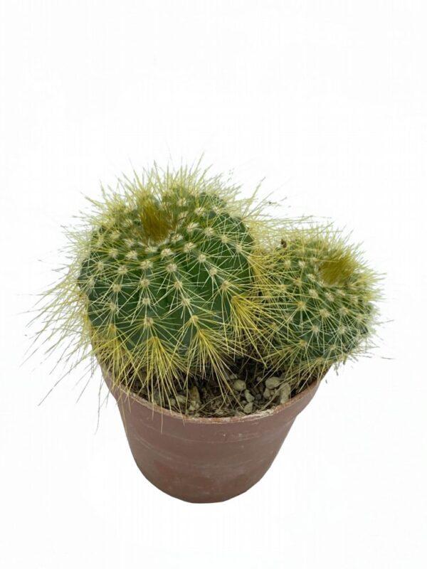 Notocactus Magnificus (Parodia Magnifica )