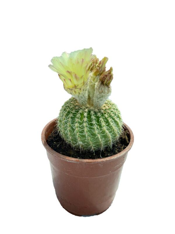 Notocactus (Parodia) 12 cm saksıda buiningii