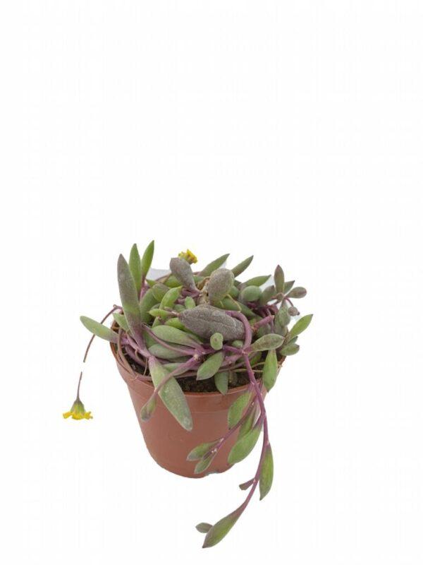 Othonna Capensis – Yakut Kolyesi (2)