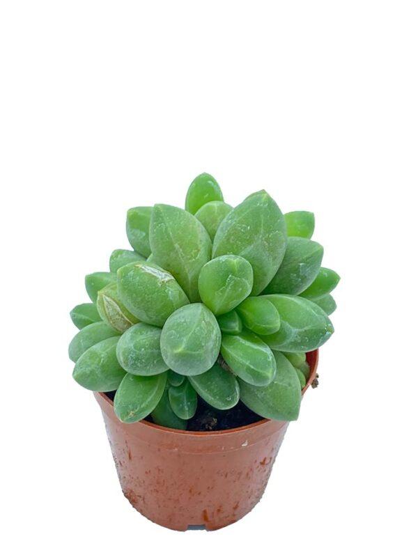 Pachyphytum Compactum F. Cristatus