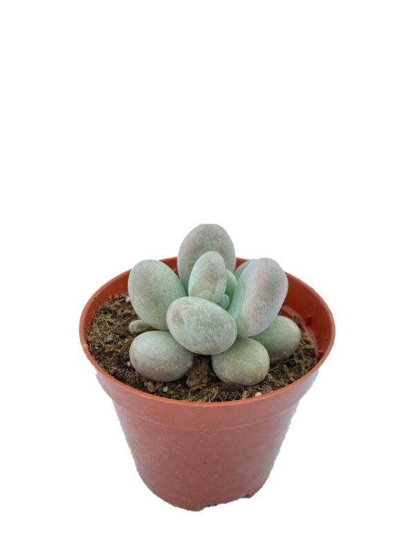Pachypactum Oviferum (8,5 cm)Pachypactum Oviferum (8,5 cm)