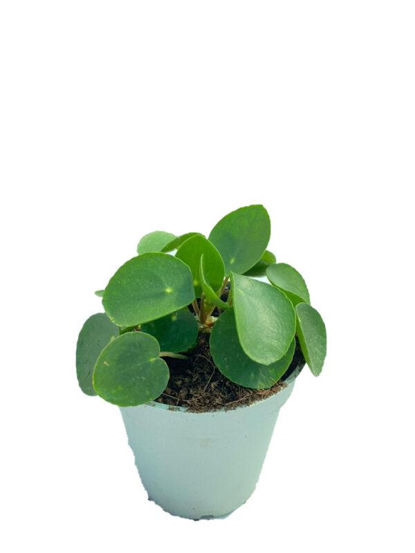 Pilea - Para Çiçeği - 12 cm saksıda