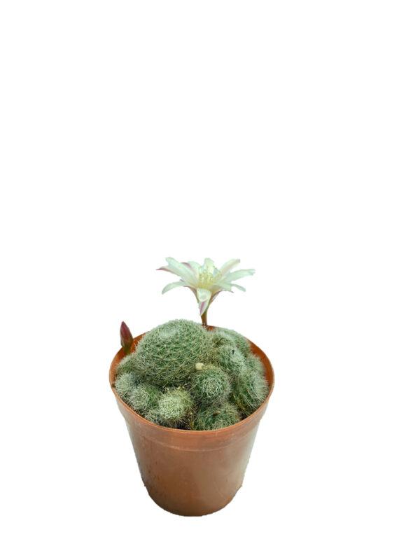 Rebutia Hellosa Sunrise Beyaz Tüylü – Çiçek Açan Kaktüs
