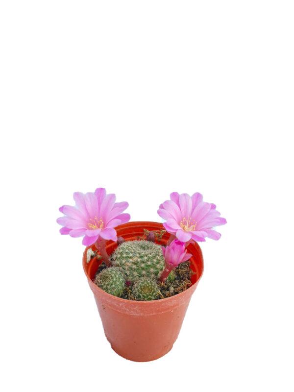 Rebutia - Pembe çiçek açan kaktüs