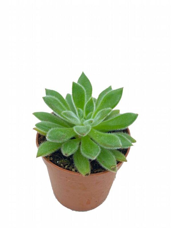 Echeveria leucotricha