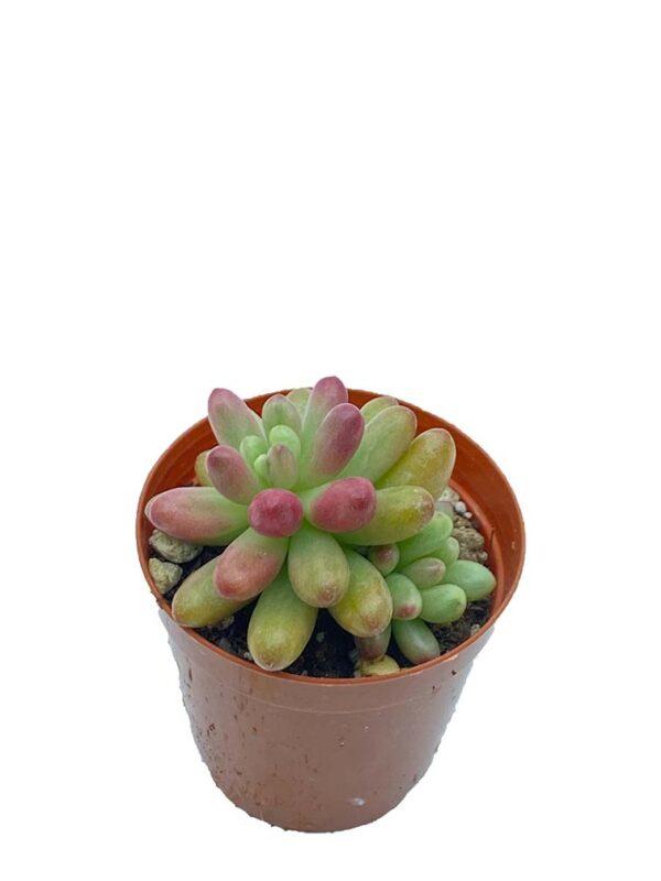 Sedum Rubrotinctum Aurora pink Jelly bean