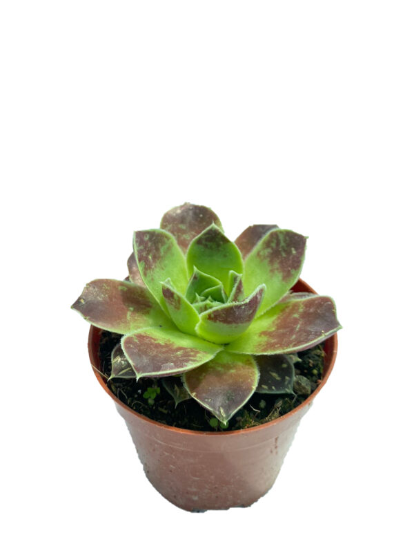 Sempervivum Tectorum - 8,5 cm saksıda