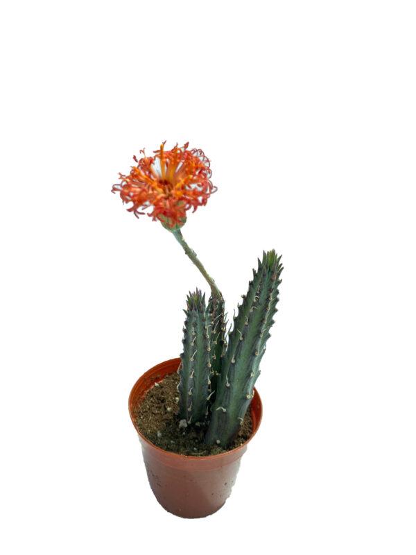 Senecio Stapeliiformis – Turuncu Çiçek Açan Kaktüs - çiçekli
