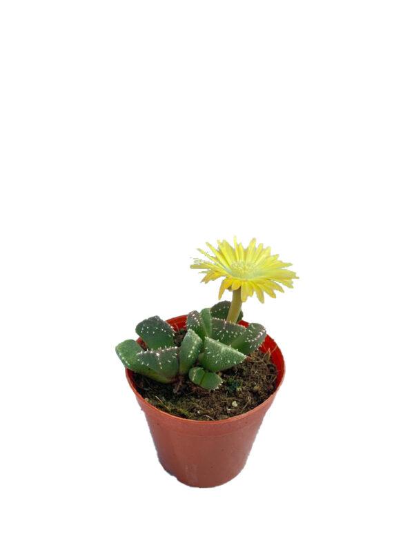 Titanopsis Calcarea – Sarı çiçek açan sukulent