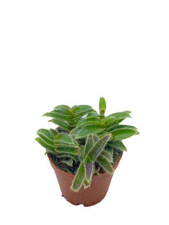 Tradescantia sillamontana, tüylü telgraf çiçeği