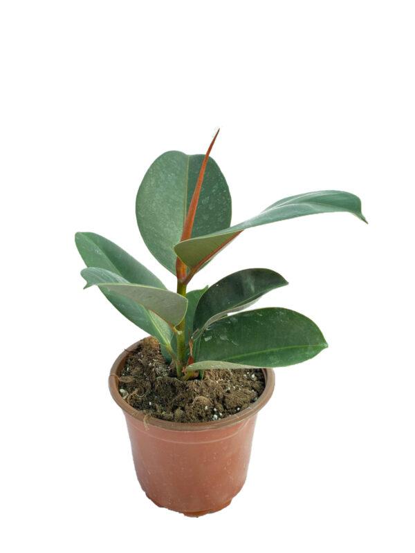 Ficus Elastica Melany Plant Kauçuk