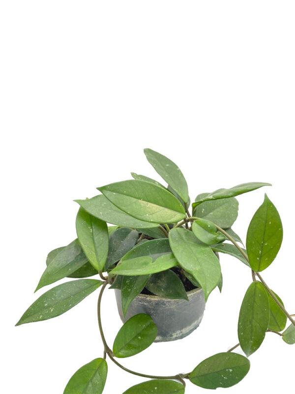 Hoya Cornasa - Mum çiçeği