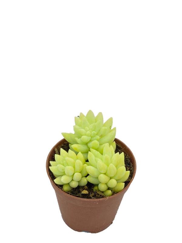 sedum morganianum - eşşek kuyruğu-1