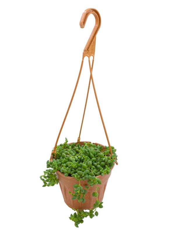 Senecio Rowleyanus - Tesbih Çiçeği - 13 cm askılı saksıda